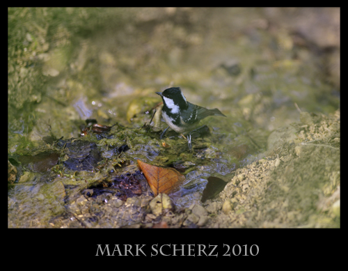 Coal tit (Parus ater) drinks from forest spring