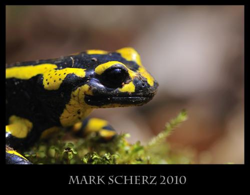 Fire Salamander (Salamandra salamandra) portrait on moss 2