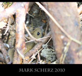 Forest dwelling mouse 8