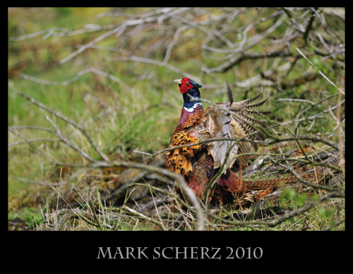 Bare underarms of a calling Pheasant in Holyrood Park
