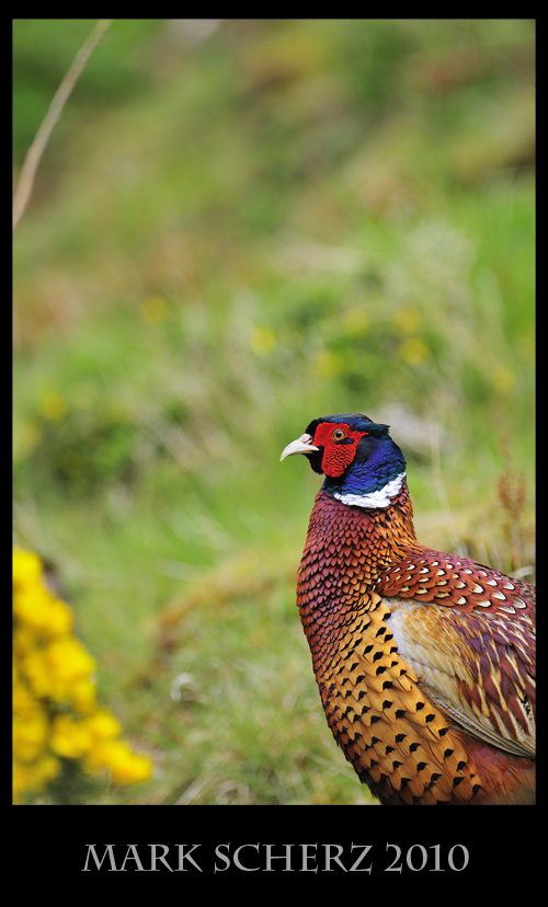 Britain's Finest - Male Pheasant in Holyrood Park