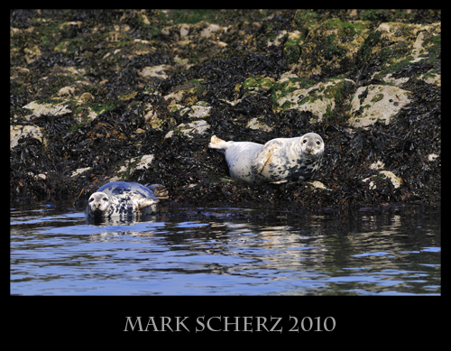 Common Seals in the Firth of Forth