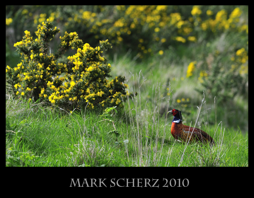 Crouched Pheasant in Holyrood Park 1