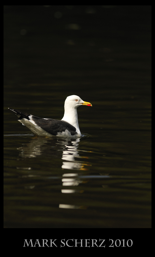 Dynamic range fail on a Lesser Black Backed Gull in Holyrood Park