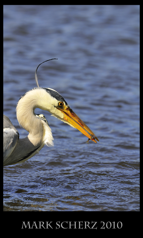 Grey Heron with a Stickleback in Holyrood Park