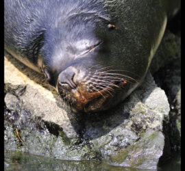 Patagonian Sea Lion taking a nap