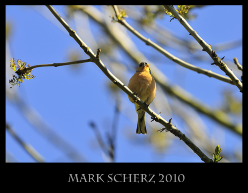 Perched Chaffinch 2