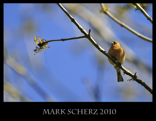 Perched Chaffinch 3