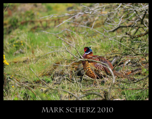 Perfect lighting and intrusive foreground on a Pheasant
