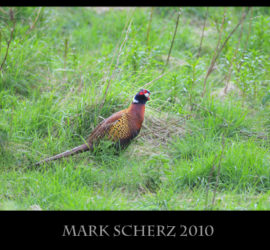 Pheasant shakes off rain in Holyrood Park