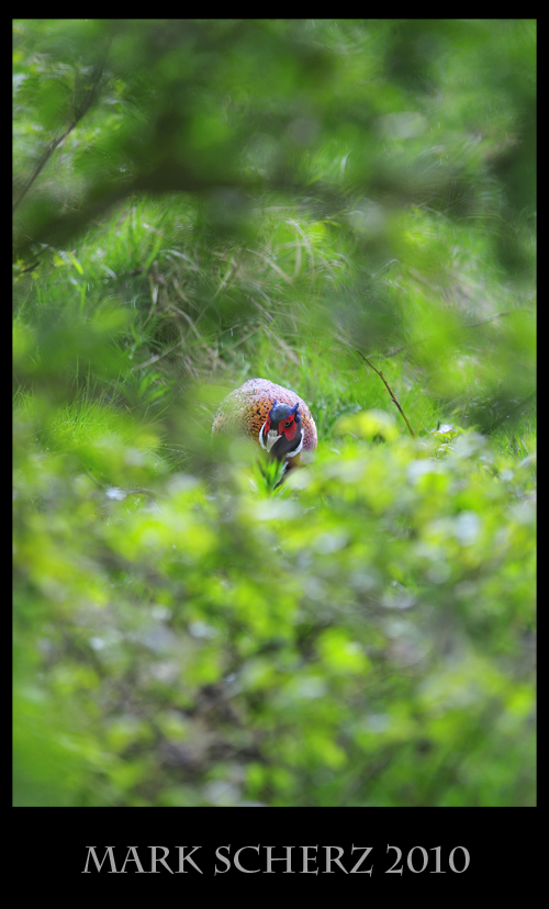 Pheasant through the Foliage in Holyrood Park