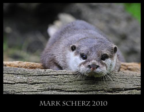 Resting Otter