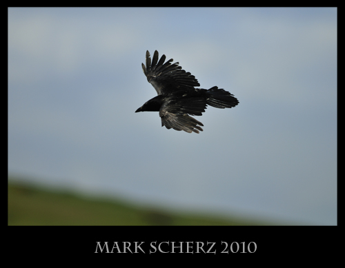 Soaring Crow in Holyrood Park