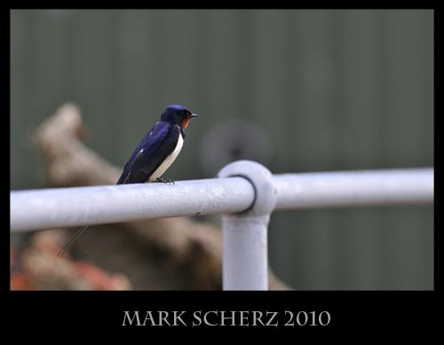 Swallow on Railing