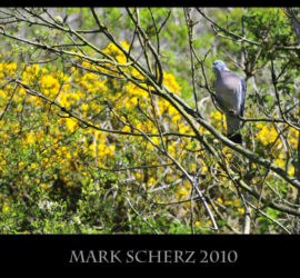 Wood Pigeon in Holyrood Park