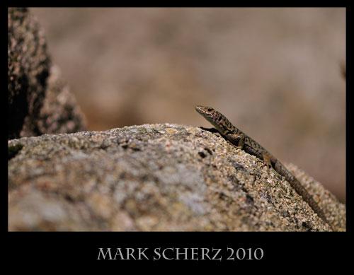 Bedriaga's Rock Lizard, Archaeolacerta bedriagae, Corsica 2