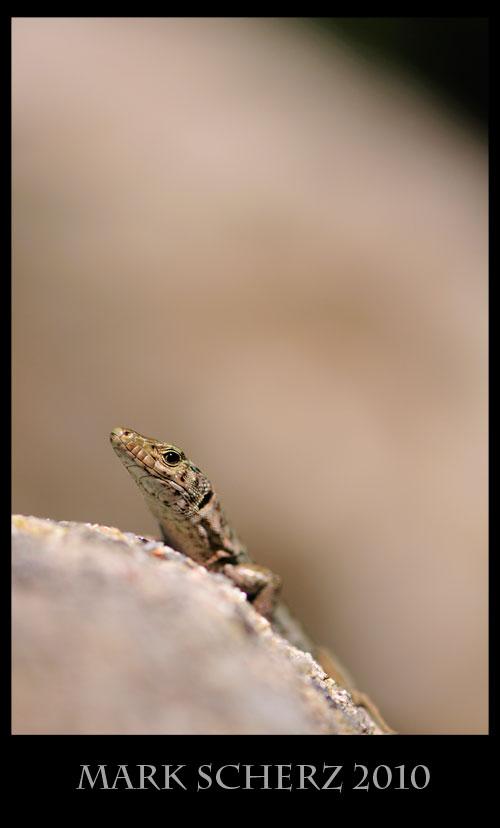 Bedriaga's Rock Lizard, Archaeolacerta bedriagae, Corsica 4