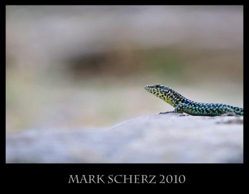 Tyrrhenian Wall lizard, Podarcis tiliguerta, Corsica 1