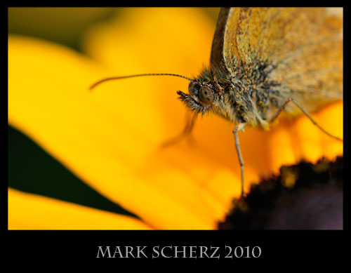 Gatekeeper, Pyronia tithonus, portrait