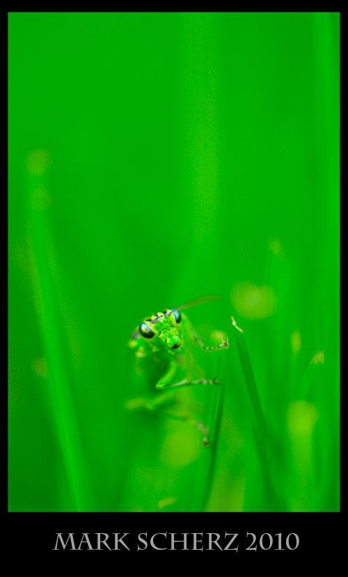 Green sawfly, Rhogogaster viridus, in grass 1