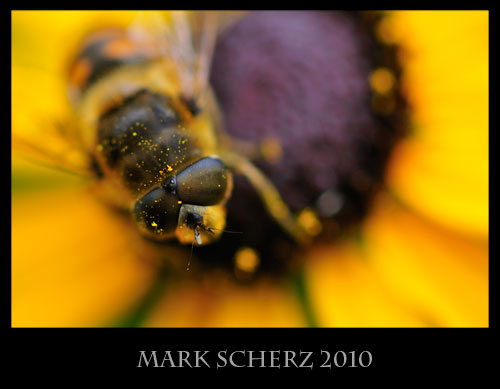 Hoverfly on black eye 1