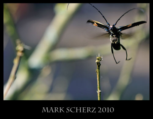 Long horn beetle in flight