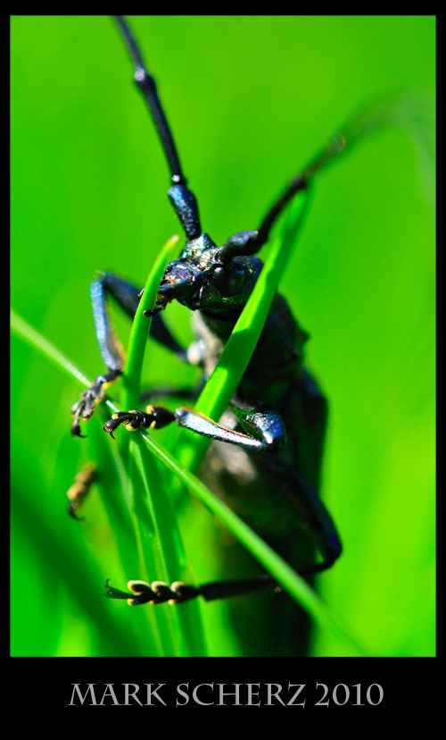 Long horned beetle portrait