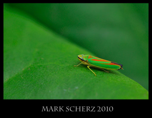 Rhododendron leafhopper, Graphocephala fennahi, in the perfect setting
