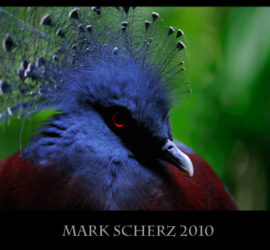 Victoria Crowned Pigeon in Edinburgh Zoo