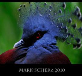 Victoria Crowned Pigeon Portrait
