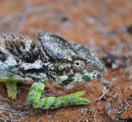 The biggest chameleon we found. An enormous male