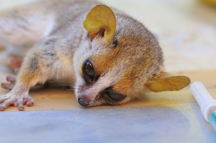Ketamine is used to temporarily immobilise the otherwise fiesty mouse lemurs