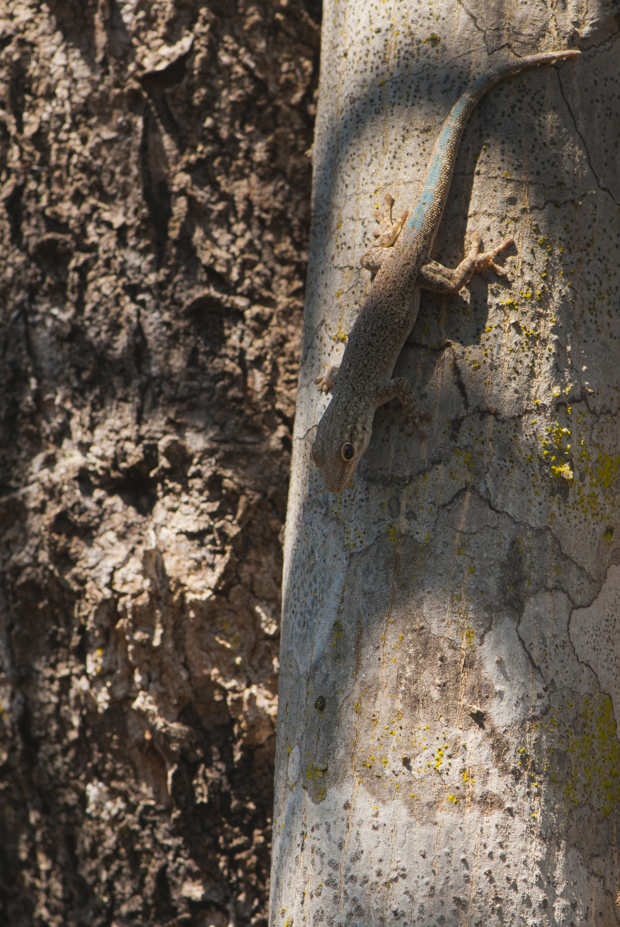 Phelsuma mutabilis on a tree in southern Madagascar