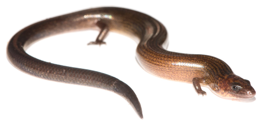 Flexiseps (formerly Amphiglossus) johannae is one of the two species of Flexiseps found outside Madagascar. It is endemic to the French Indian Ocean island of Mayotte. Photo by Mark D. Scherz, 2014