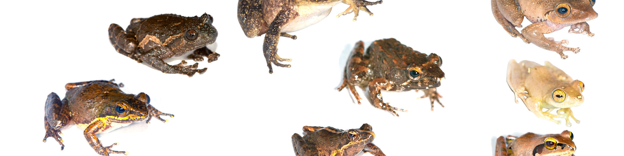 Frogs of Ampotsidy, northern Madagascar. Photographed in January 2016 by Mark D. Scherz.