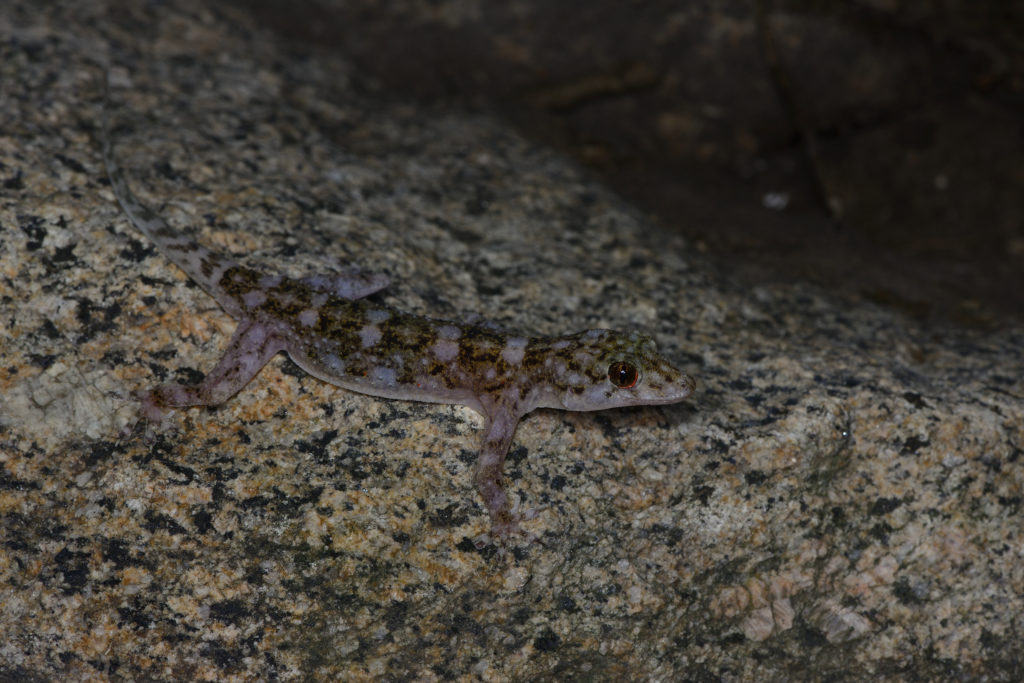 Paragehyra felicitae, one of Madagascar's newest species