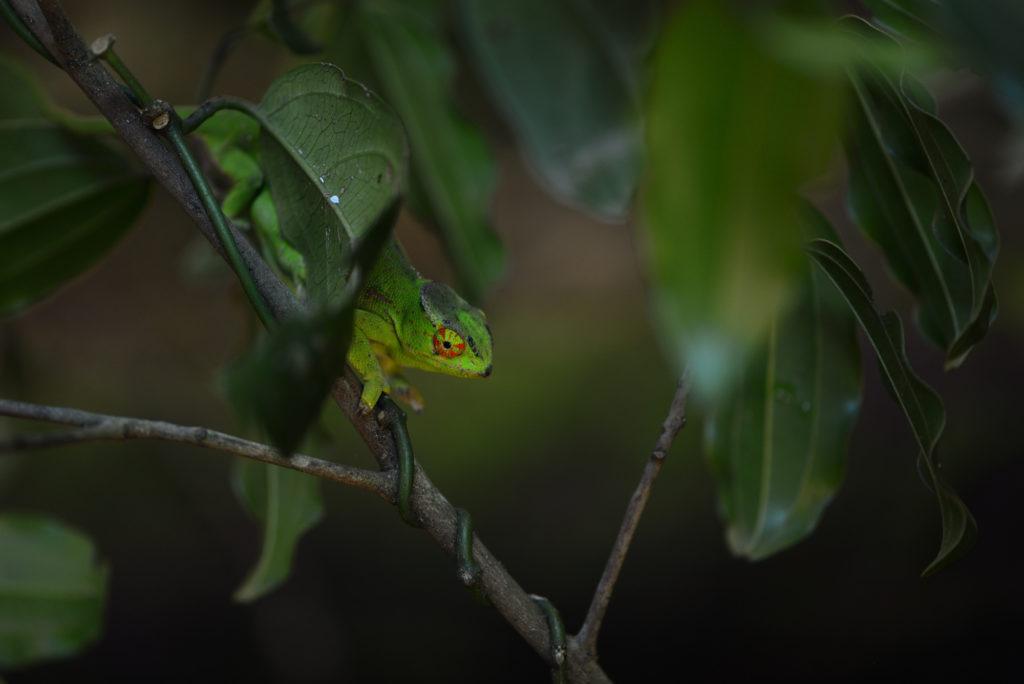 A gravid female Furcifer willsii