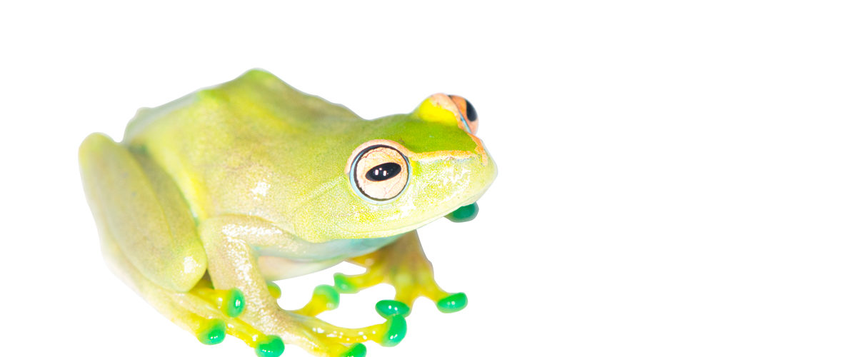 Boophis sp. nov. (previously known only from tadpoles)