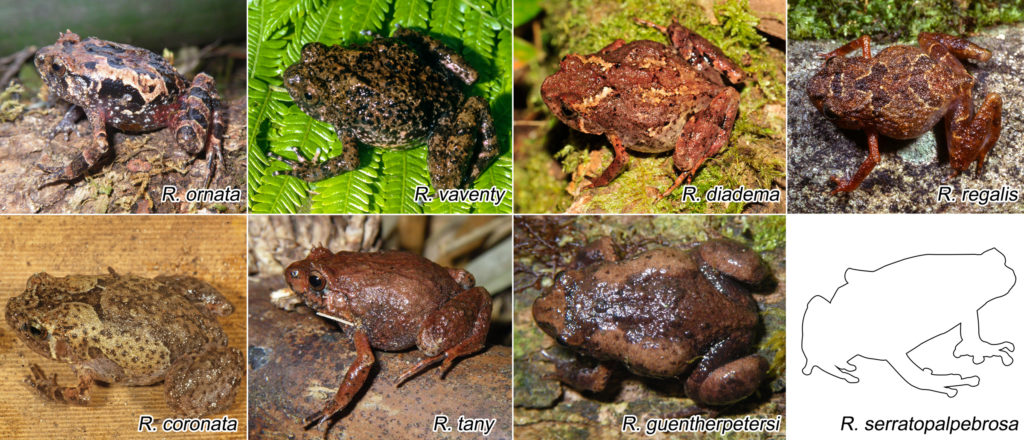 Two new species of saw-browed diamond frogs from Madagascar